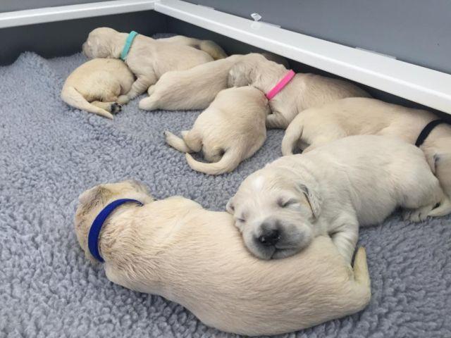 AKC Reg. English Buldog Puppies