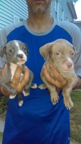 Adorable American Pit Bull Puppies