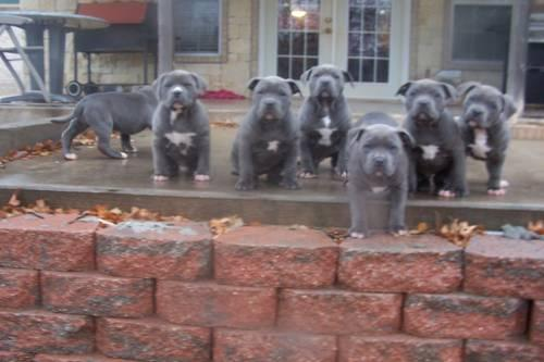 Awesome Blue American Pit Bull Terrier Puppies