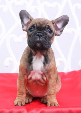 beautiful french bulldog- Almira