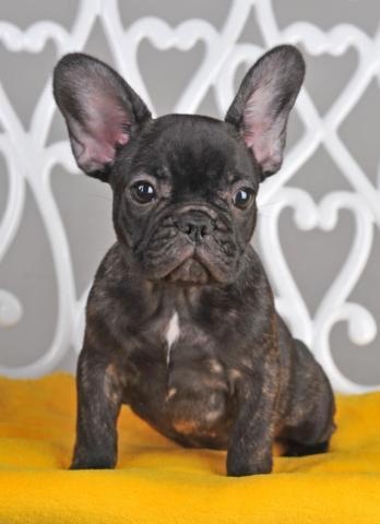 beautiful French Bulldog- Franky