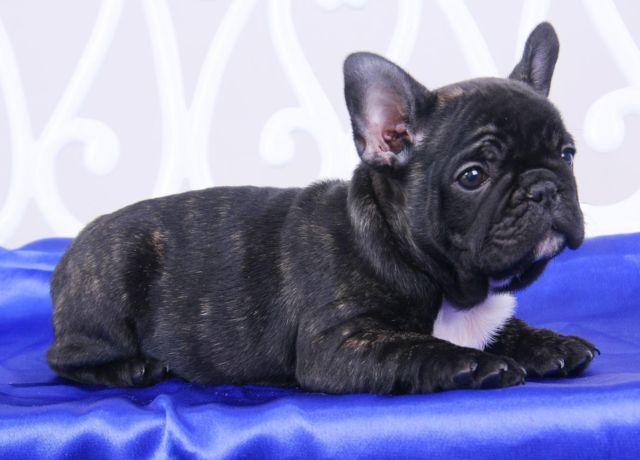 beautiful french bulldog- Knight