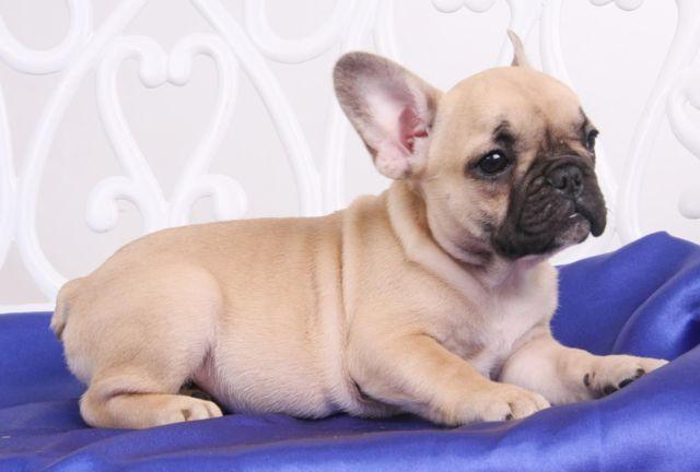 Beautiful French bulldog- Neoton