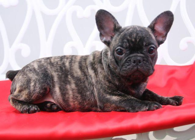 beautiful french bulldog- Pinky