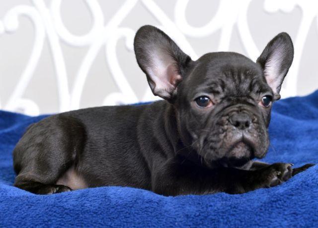 Beautiful French Bulldog- Ralph