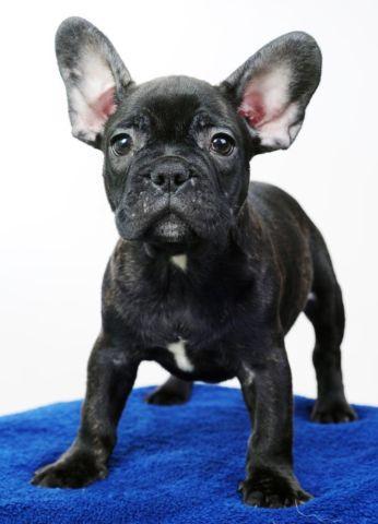 Beautiful French Bulldog- Ringo