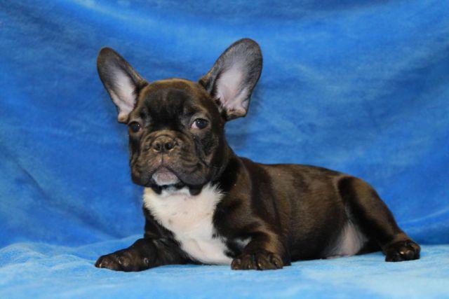 beautiful french bulldog- Royal