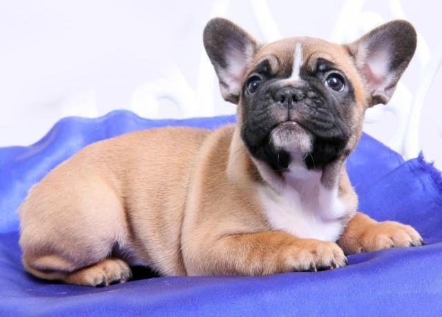 beautiful french bulldog-Aramni
