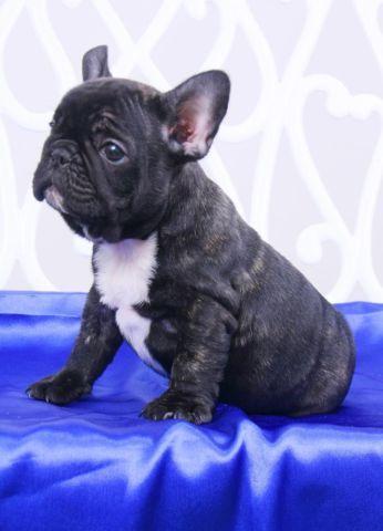 Beautiful French bulldog-Knight