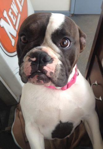 Amazing boston Bulldog