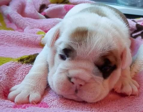 Beautiful AKC English Bulldog female