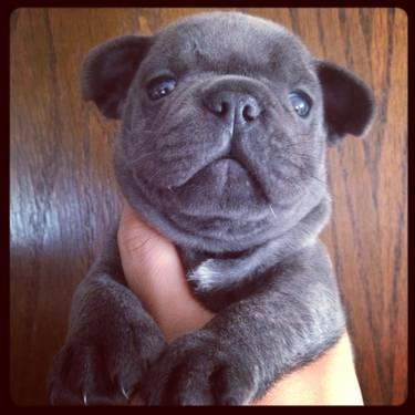 Akc blue French bulldog male