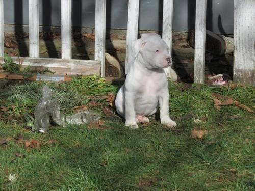 NKC American Bulldog Puppies