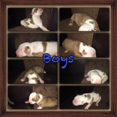 NKC REGISTERED AMERICAN BULLDOG PUPPIES for Sale in Columbus