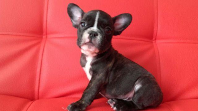 Handsome French Bulldog Puppies For Sale In Guttenberg New Jersey