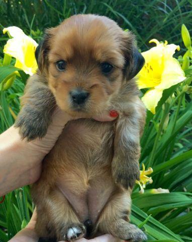 unique English Bulldog puppies for Sale in Ashburn, Virginia