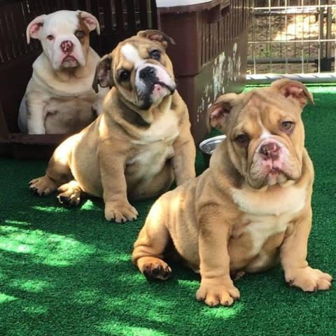 AKC Rare Color English Bulldog puppies for sale