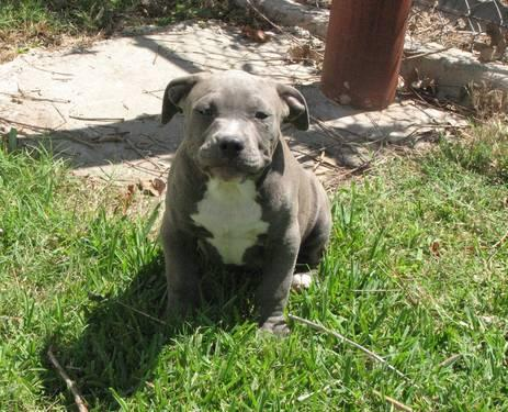 American Bullies Puppy In San Antonio Tx 3308747466 Dogs On | Dog ...