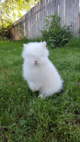 Purebred Baby Bunnies