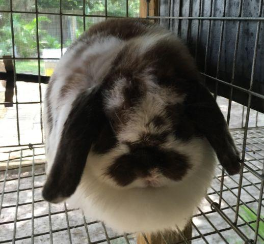 Holland lop bunnies for Sale in Lakeland, Florida Classified