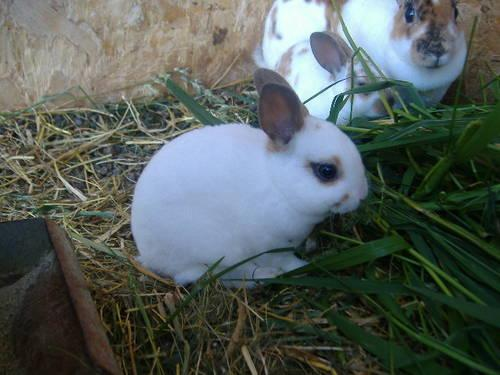 Adorable Purebred Mini Rex Bunnies For Sale! for Sale in