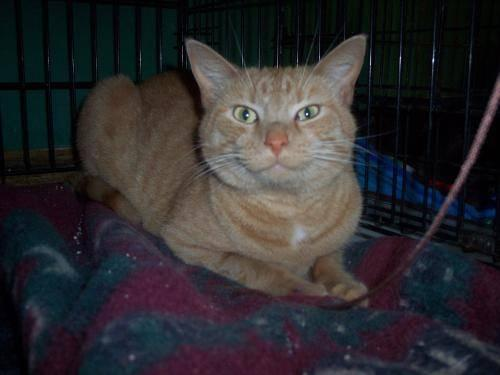 Domestic Short Hair - Orange - Buttercup - Medium - Adult
