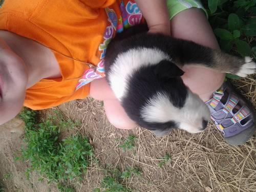 adorable aussie/sheltie puppy ready by June 12