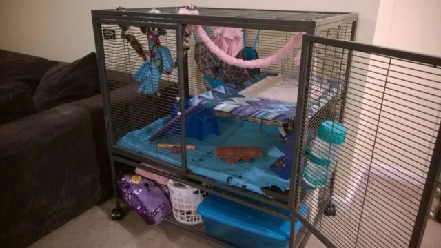 Dumbo Rats w/optional Bi-Level Cage and Accessories Galore!
