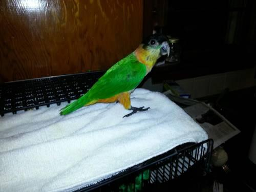 Black headed Caique...