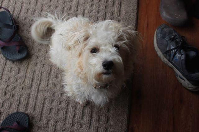 Sweet HYPOALLERGENIC Puppy - Cairn Terrier Mix for Sale in