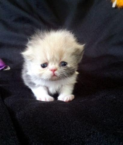 Sweet Calico and Dilute Calico Persian Babies Available
