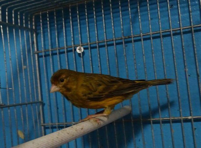 Black throat Canary