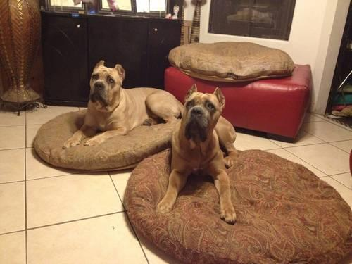 CH AKC Sired Blue Female Pup Cane Corso Mastif Ears Done