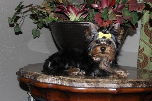 CKC YORKIE TERRIER MALE BLACK AND GOLD CARRY PARTI GENES FOR SALE CA