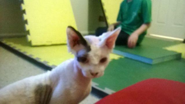 sphynx cat for Sale in Bartlett, Illinois Classified