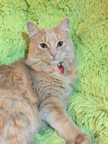 Adorable Longhair Cat