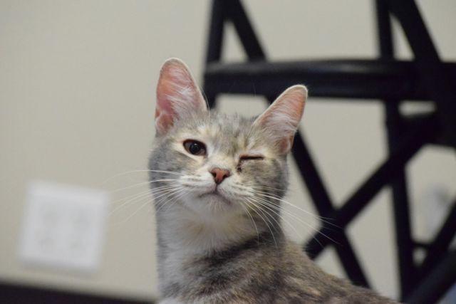 Super Loving White Female Cat for Adoption