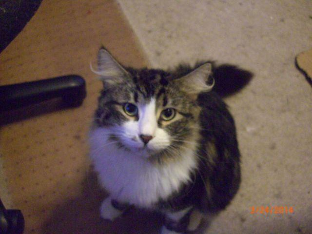 3 siberian male cats for sale