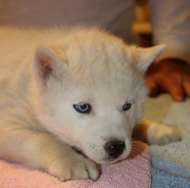 8 Week Old Cavapoo Puppies for Sale in San Diego, California