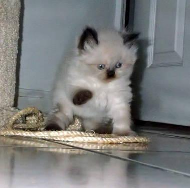 Himalayan kittens, CFA registered