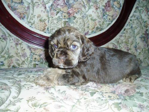 Akc Cocker Spaniel Puppies Ch Bloodlines Price Reduced For