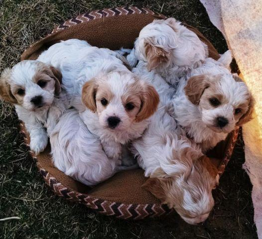Cavachon Puppies (Cavalier King Charles / Bichon mix) for
