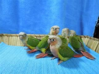Only 4 Pineapple Green Cheek Conure babies left!!