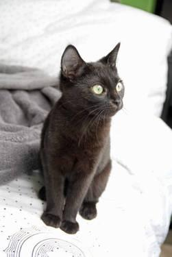 Domestic Short Hair - Black - Sonny & Cher - Medium - Young