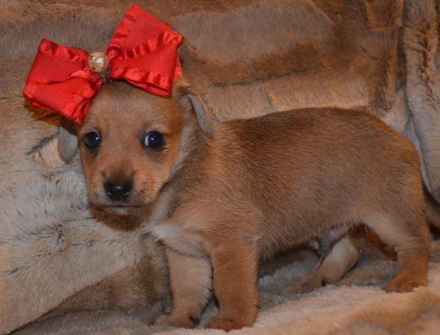 XS TINY Chi-weenie puppy