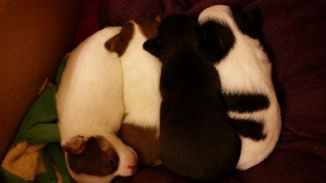 Adorable Purebred Chi Pups