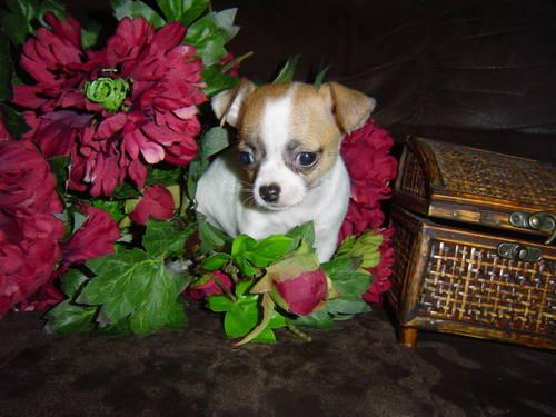 Adorable CKC Reg. Chihuahua Female Precious!