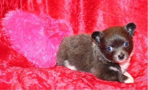 Longhair Teacup chihuahua females