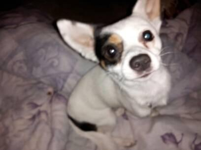 chihuahua rescue houston lil johnny male chihuahua for adoption for sale in houston 617
