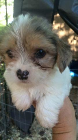 Beautiful Yorkshire terrier /chihuahua male mixed